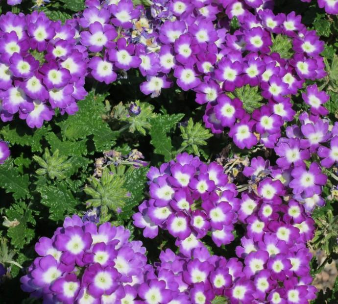 CSU garden